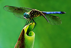 a peaceful dream (Kelly Angard) Tags: canon insect fly wings peace dragonfly dream peaceful naturemacro kreativekell kellya kellyangard efs1755mm bestnaturetnc06 kellyafineartphotography digitalrebelxtefs1755mm