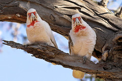 Long-billed Corellas doing a song and dance routine (aaardvaark) Tags: australia august canberra act longbilledcorella cacatuatenuirostris callumbrae 2006081006002~lbcojpg