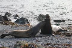 Dueling Elephant Seals (Forget Me Knott Photography) Tags: california elephant beach coast big san wildlife seal sur simeon brianknott forgetmeknottphotography fmkphoto