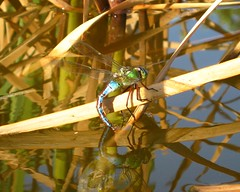 Emperor dragonfly (Anax imperator) female ovipositing