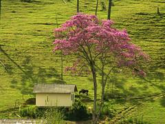 ipê-roxo (zenog) Tags: pinkngreen purple ~~ cabana ipêroxo sítiodoipê theycallitpurplebutitlookspink