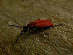 Red beatle (Passiflora) Tags: red insect slovenia beatle