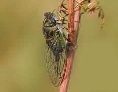 Cicada (nature55) Tags: summer nature wisconsin cicada insect ilovenature outdoors big wildlife animalkingdomelite 320explore