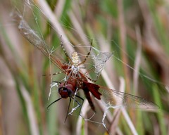 Spider and Red-mantled Saddlebags (Hard-Rain) Tags: spider illinois dragonfly web prey predator plainfield odonata libellulidae insecta tramea trameaonusta redsaddlebags redmantledsaddlebags