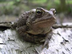 American Toad (Pseudacris) Tags: macro nature animals wildlife amphibian frog westvirginia american toad bufo americanus anura