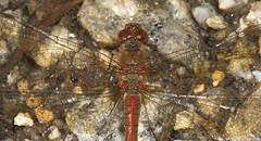 """Common Darter Dragonfly (Sympetrum s(27) • <a style=""""font-size:0.8em;"""" href=""""http://www.flickr.com/photos/57024565@N00/231600541/"""" target=""""_blank"""">View on Flickr</a>"""
