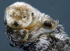 awake (inklake) Tags: canada nature topf25 animal topv111 vancouver aquarium topv333 topv1111 seaotter topf100 samples interestingness6 interestingness21 i500 likewise inklake animalkingdomelite abigfave likewiseblog