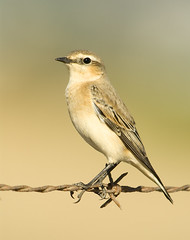 Chasco Cinzento / Wheatear / Oenanthe oenanthe (jcoelho) Tags: portugal nature birds animals birdsinportugal avesemportugal aves wheatear chascocinzento oenantheoenanthe northernwheatear animalkingdomelite