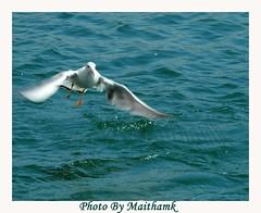 seagel () Tags:  maitham khraibut kuwait boat birde nature kuwaitwildlife birds nikon  specanimal animalkingdomelite photo fans p1f1 artphoto art  artphoto kuwai phot  kuwaitphoto khuraibet alkhuraibet    naturewatcher gulf arab    khraibutnet  adventure biker