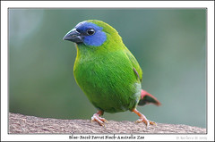 Blue-faced Parrot Finch (Barbara J H) Tags: birds finch steveirwin australiazoo featheryfriday wildlifeofaustralia bluefacedparrotfinch erythrura avianexcellence trichroa
