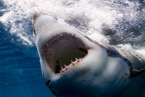 A Great White Shark with Mouth Wide Open