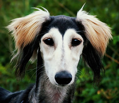 saluki beauty (Dan65) Tags: portrait hairy dog haircut hair fur furry hound fluffy hairdo ears explore tufts 27 fifi sighthound saluki