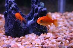 california fish home animals aquarium berkeley goldfish