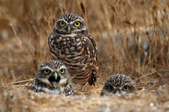 maaa (BGale) Tags: ilovenature bravo shorelinepark burrowingowls mountainviewca featheryfriday interestingness290 i500 specnature chrisparkinson specanimal animalkingdomelite gigglegram explore10sep2006 doloresluxedo