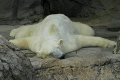zonked out! (ucumari) Tags: bear nature animal mammal zoo nc wildlife north northcarolina september polarbear carolina polar nczoo asheboro northcarolinazoo asheboronc september2006 specanimal ucumari animalkingdomelite abigfave ucumariphotos ucumariphotography asheboronorthcarolina