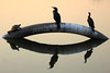 Local Fauna... (Diego3336) Tags: park city sunset brazil urban sun lake nature brasil fauna cormorants duck pond saopaulo dusk turtle pipe ducks ibirapuera pipeline neotropiccormorant phalacrocoraxbrasilianus