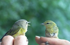 I told you we should have turned RIGHT back there (makeupanid) Tags: two toronto birds highpark karma birdbrained banding birdbanding warblers featheryfriday animaladdiction bokehbokehbokeh torontobirdobservatory animalkingdomelite gigglegram gigglegram2 pairorwarblers leftnashvillewarbler righttennesseewarbler avianexcellence