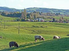 grazing (Brenda Anderson) Tags: newzealand grass rural sheep farm farming dairy grazing wairarapa dairyfarm curiouskiwi utataview brendaanderson curiouskiwi:posted=2006