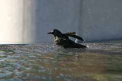IMG_9104.JPG (praptis) Tags: sanfrancisco california bird yerbabuena