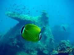 Wiebel's Butterflyfish at Koh Tao Island, Thailand