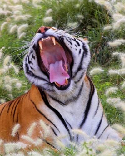 Tiger megayawn