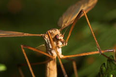 """Cranefly (Tipula oleracea) • <a style=""""font-size:0.8em;"""" href=""""http://www.flickr.com/photos/57024565@N00/249009256/"""" target=""""_blank"""">View on Flickr</a>"""