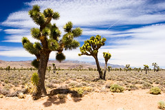 Death Valley Survivors (Leviathor) Tags: california travel tree nature joshuatree deathvalley deathvalleynationalpark roadtrip2006 outstandingshots abigfave