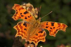 """Comma Butterfly (Polygonia c-album)(5) • <a style=""""font-size:0.8em;"""" href=""""http://www.flickr.com/photos/57024565@N00/253237511/"""" target=""""_blank"""">View on Flickr</a>"""