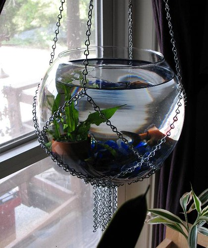 goldfish bowl. My Hanging Goldfish Bowl