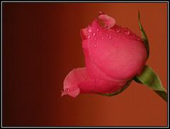 Una rosa es una rosa (Leanmar1) Tags: butterflyeffect efectomariposa leffetpapillon schmetterlingeffekt ltytr1