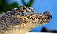 Snaggle Tooth Bob (ben cutshall photos) Tags: nature smile sandiego gator reptile quality teeth alligator bob beast jackhanna a1f1 specanimal animalkingdomelite p1f1 fantasticanimalphotos