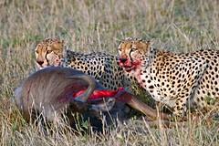 Reward of the Hunt. (Picture Taker 2) Tags: nature native wildlife unusual predator upclose bigcats cheetahs wildebeest africaanimals masimarakenya specnature
