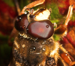 """Hoverfly After the rain (Sericomyia s(1) • <a style=""""font-size:0.8em;"""" href=""""http://www.flickr.com/photos/57024565@N00/258554444/"""" target=""""_blank"""">View on Flickr</a>"""