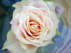 Cream Rose (nicky's) Tags: reflection rose tag3 taggedout petals tag2 tag1 cream wrapped kiss2 kiss3 kiss4 1on1flowers kiss5 nanasflowers