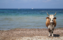 Oh, la vache ! (Magali Deval) Tags: blue sea 15fav mer france beach 510fav vacances cow interestingness sand holidays corse corsica sable bleu plage insolite vache interestingness413 i500 corse2006 explore03oct2006