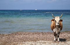 Oh, la vache ! (Magali Deval) Tags: blue sea 15fav mer france beach 510fav vacances cow interestingness sand holidays corse corsica sable bleu plage insolite vache interestingness413 i500 corse2006 explore03oct2006