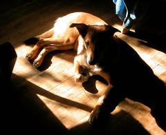 Po (duckberry) Tags: dog puppy sheltie sheepdog po gypsy shetland gypo kelpie