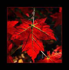 Rouge* (Imapix) Tags: voyage travel autumn red canada fall leaves rouge photo leaf bravo photographie quebec quality qubec mostinteresting canadianflag imapix specnature abigfave pix50 imapixphotography gatanbourquephotography