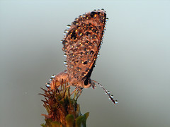 Blue at Dawn 1 (Sean McCann (ibycter.com)) Tags: macro animals insects bugs lepidoptera s2is lycaenidae raynoxdcr250 animalkingdomelite