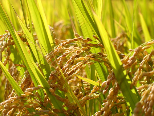 Rice grains for harvest