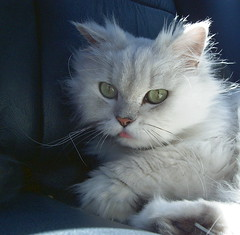 Mimi 14Y Female (jacky elin) Tags: cats sun cat mimi chinchilla
