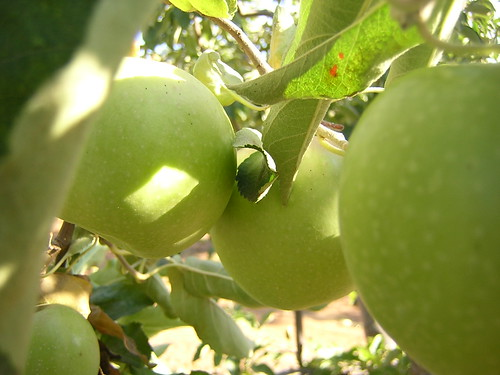 Apple Hill Granny Smiths