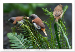 Chestnut-breasted Mannikin (Barbara J H) Tags: birds australia qld australiazoo featheryfriday chestnutbreastedmannikin lonchuracastaneothorax