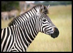 Zebra Portrait - by Richard Pluck