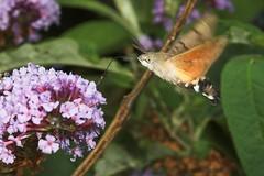 "Hummingbird Hawkmoth (macroglossum stellatarum) • <a style=""font-size:0.8em;"" href=""http://www.flickr.com/photos/57024565@N00/275135160/"" target=""_blank"">View on Flickr</a>"