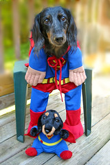 Super Chili and Super Chili Jr (Doxieone) Tags: dog fall halloween costume calendar c superman dachshund final hi mostpopular ggg ourdogs final3 topfavorite 471111030 92313113 halloweenset 264514929 fallhalloween200672008set