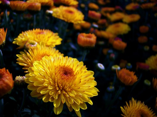 Mums by Gail S (Flickr)