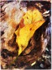 (Ruth Nicholas) Tags: fallleaf yellowcurlyleaf texturedbark softtones golden earthycolors