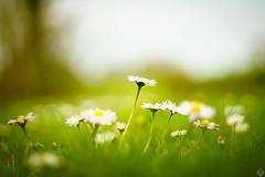 DSC00887 (mortelette.david) Tags: helios442 helios44258mmf2 helios 58mmf2 vintagelens sovietlens manuallens sony sonya7ii sonyilce7m2 flou flower fleur blur bokeh dof profondeurdechamp extérieur m42 paquerette lumière light