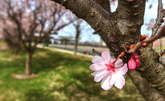 Start of Spring 2018 (jimkool4udr) Tags: flowers bloom buds lawn blur bokeh iphone6s iphone grass green plant tree alone newjersey nature lonely beautiful white pink flower spring